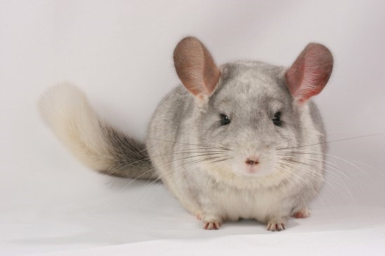 10-essential-tips-for-chinchilla-owners-541acafdc2ec0.jpg